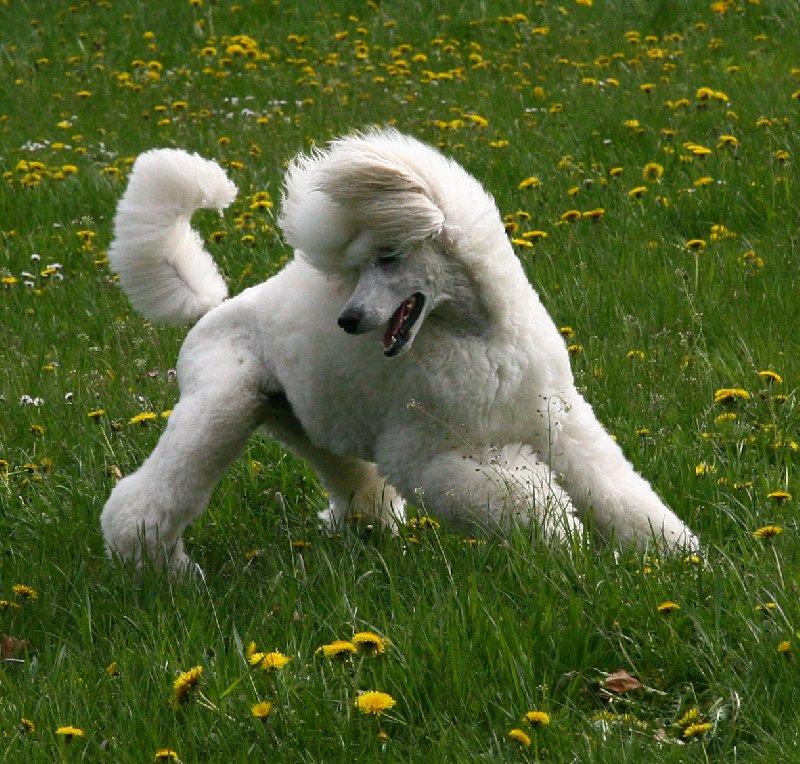 Pudl velký – pes, za kterým se ohlédnete…