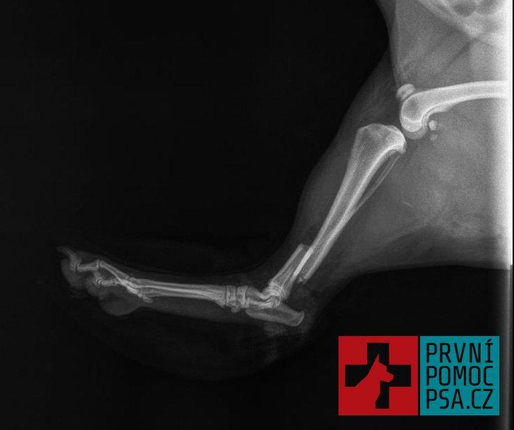 Zlomeniny u psa a poskytnutí první pomoci