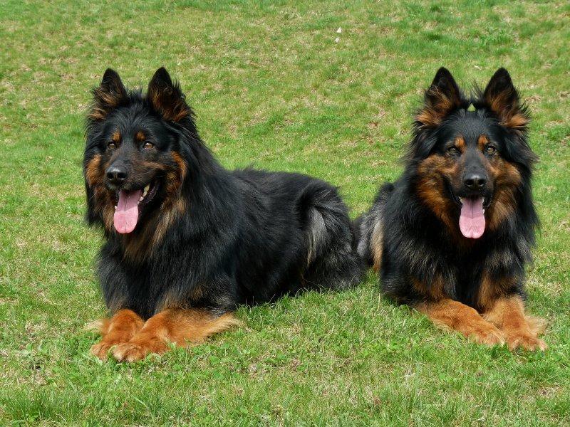 Všestranný pohodář – to je chodský pes!