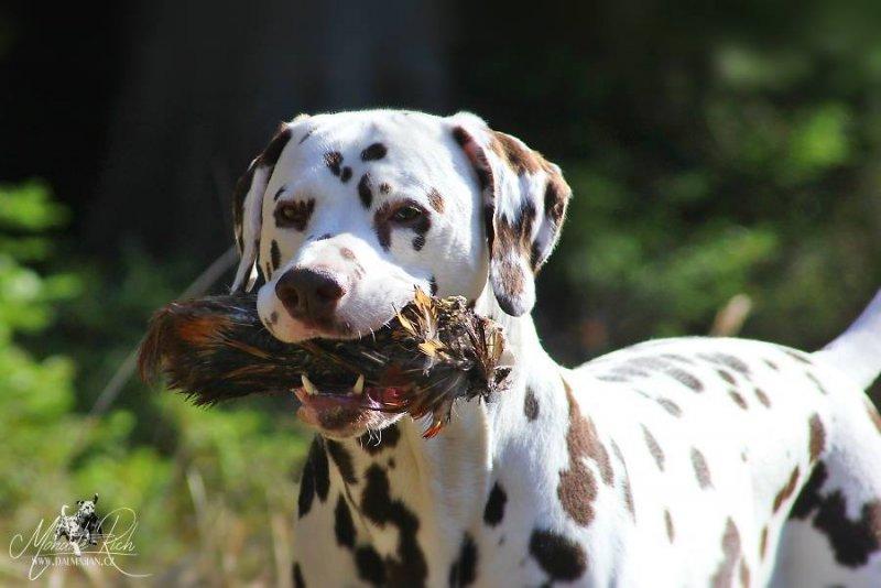 Dalmatin si získal moje srdce...