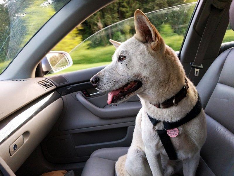 Naučme psa cestovat!