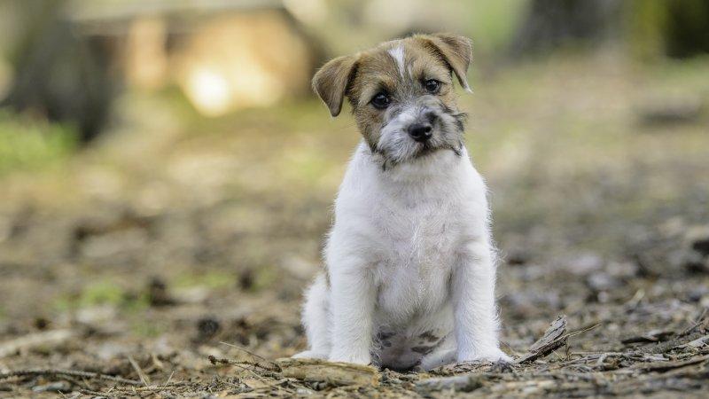 Velký malý pes – to je Jack Russell teriér!