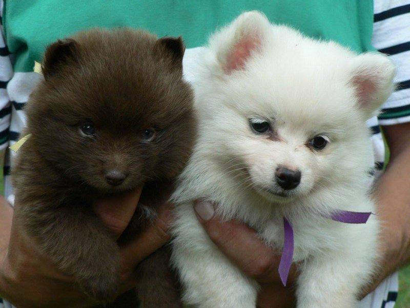 Špic je osobnost – malý pes s velkým srdcem!