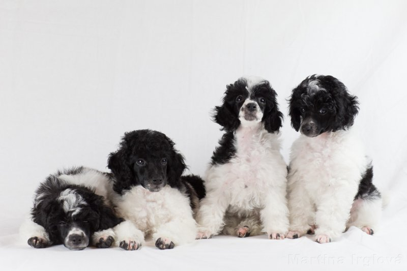 Otazníky kolem reprodukce psů PODRUHÉ!