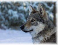 Legendární křížení vlka a německého ovčáka