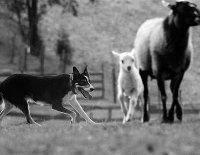 Není dobrého stáda bez dobrého pastýře a není dobrého pastýře bez dobrého psa