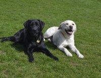 Labradorský retrívr x zlatý retrívr