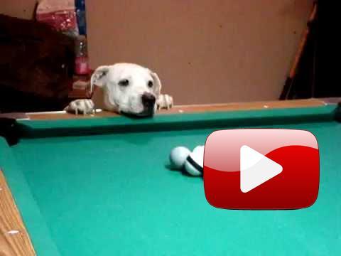 Pes, který hraje kulečník lépe než Vy