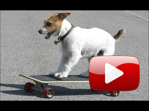 Psi na skateboardu.