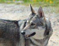 Vlk či pes, toť otázka.