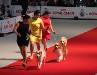 Majitel musí se svým psem v kruhu nejen dokonale ladit, ale i správně vybrat a používat výstavní vodítko!