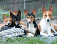 Jeden je prostě málo aneb Basenži pes smečkový!