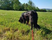 Stopařská poradna – Proč má fena vynechává na stopě pamlsky?