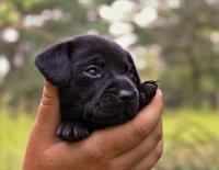 Využití genetických testů na dědičná onemocnění ve veterinární medicíně a chovu čistokrevných psů