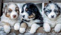 Reprodukce u psů pod drobnohledem!