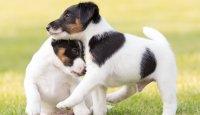 Chovatelská poradna – Termín odběru štěněte