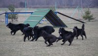 Anketa majitelů – belgický ovčák groenendael