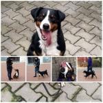 Appenzellský salašnický pes