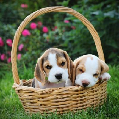 Beagle (Bígl)