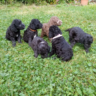 Bedlington Terrier - Bedlingtonský teriér