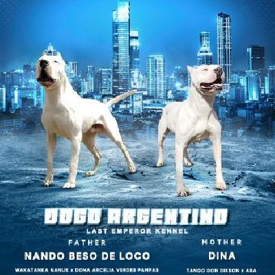 Dogo Argentino štěňata