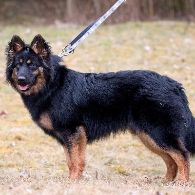 Hledáme ztracenou fenku chodského psa