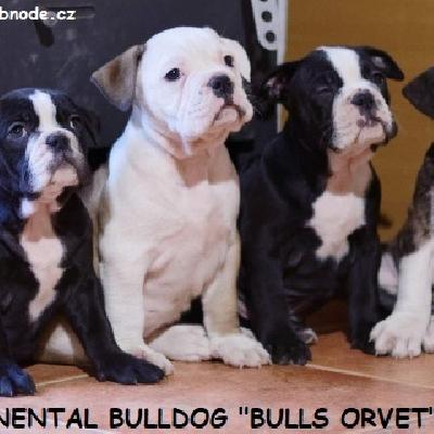 Kontinentální buldok-Continental bulldog krásná štěňátka s PP FCI !