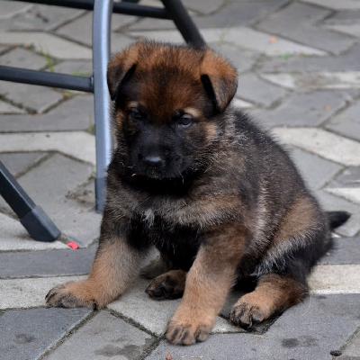 Německý ovčák s PP - štěně