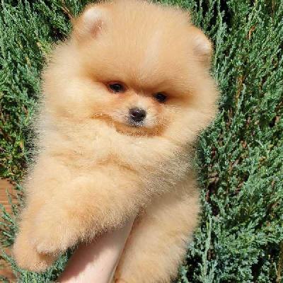 Pomeranian Boo čistokrevné štěně