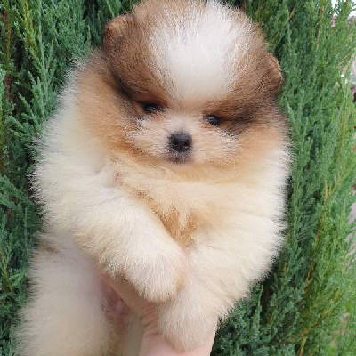 Pomeranian Boo top štěně