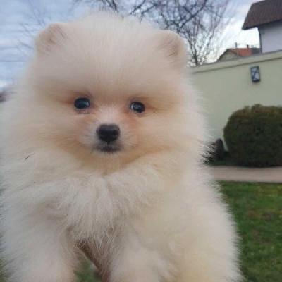 Pomeranian, krásná žena špičkové kvality