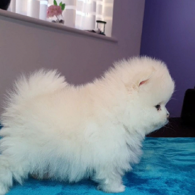 Pomeranian PP FCI holčcika