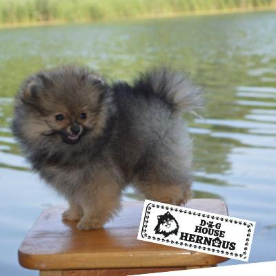 Pomeranian špic šteniatka