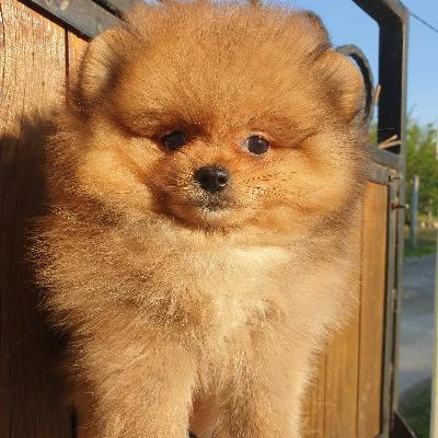 Pomeranian štěňata