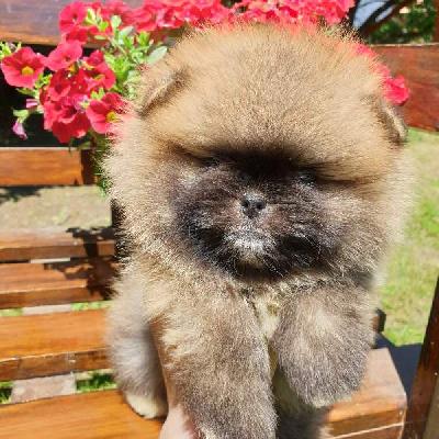 Pomeranian, štěňata špičkové kvality