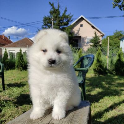 Sibírske samojed šteniatka