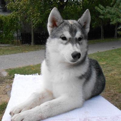Sibiřský husky na prodej