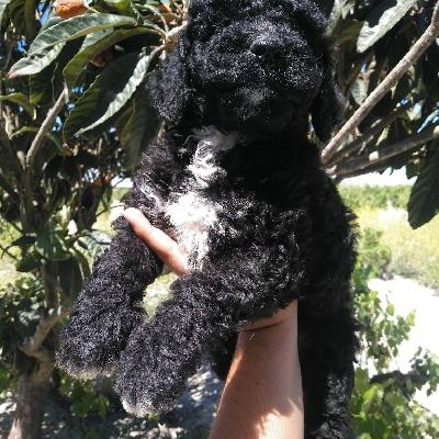 Španělský vodní pes - štěňátka s pp