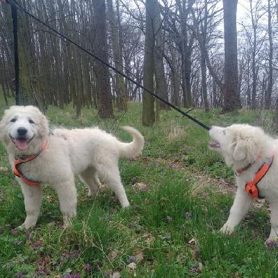 Štěňátko Maremmansko Abruzskeho pasteveckeho psa hledá novou rodinu