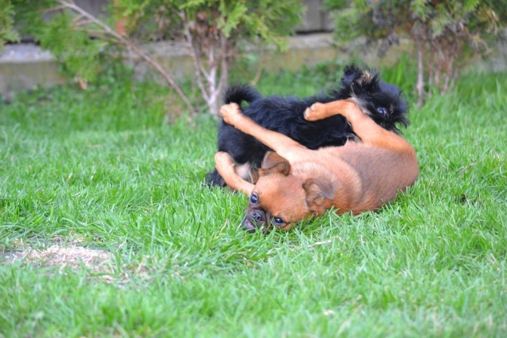 Grifonek je malý pes s velkým srdcem plným lásky!