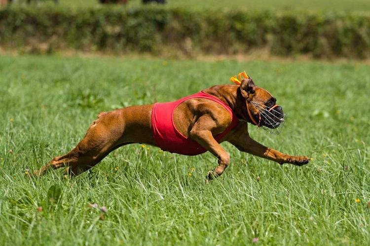Německý boxer je jako obraz! Prostě krása!