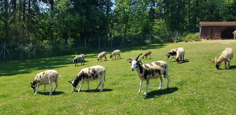 Odčervování ovcí a koz
