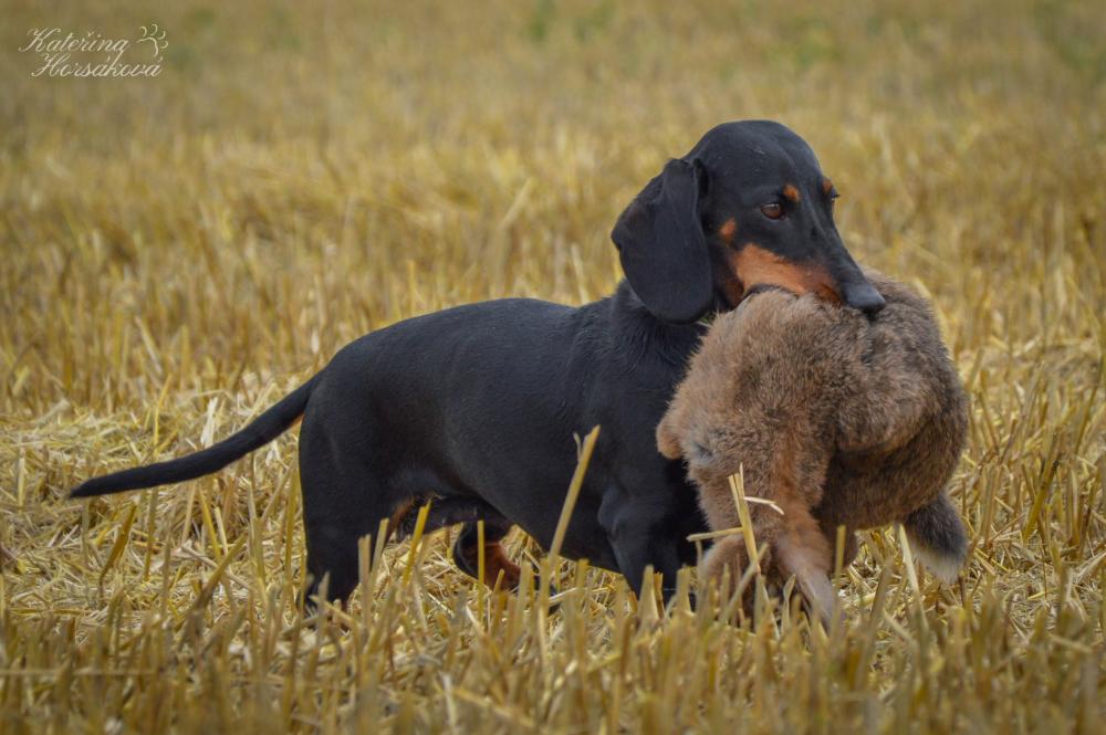 Jezevčík je pro mne tím pravým psem!