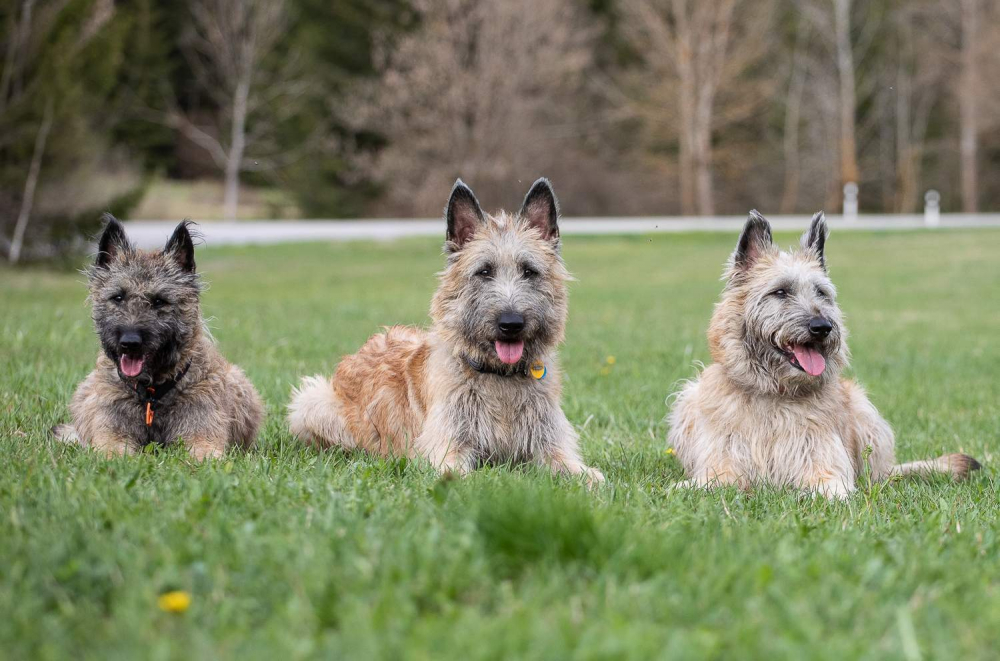 Anketa majitelů – belgický ovčák laekenois