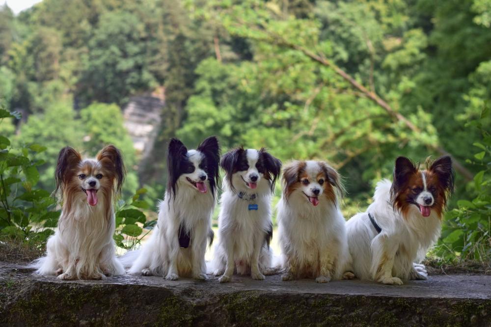Malý kontinentální španěl je dokonalý pes!