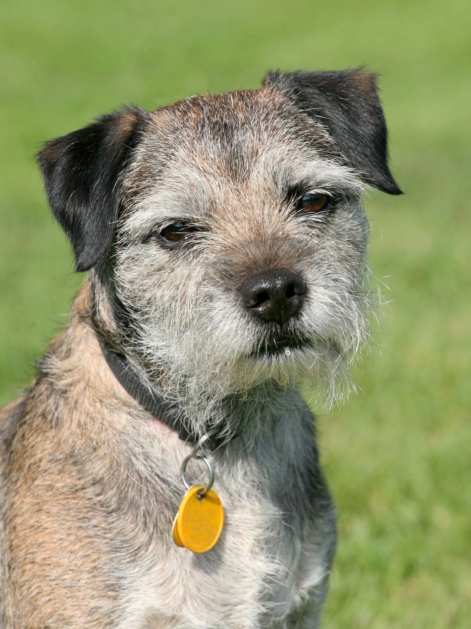 Border teriér je zvědavý, dychtivý a inteligentní pes!
