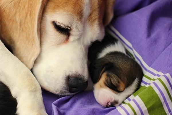 Bígl je aktivní parťák a oblíbený rodinný pes!