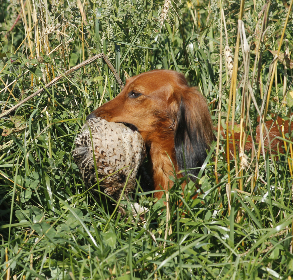 Jezevčík je univerzální lovecký pes!
