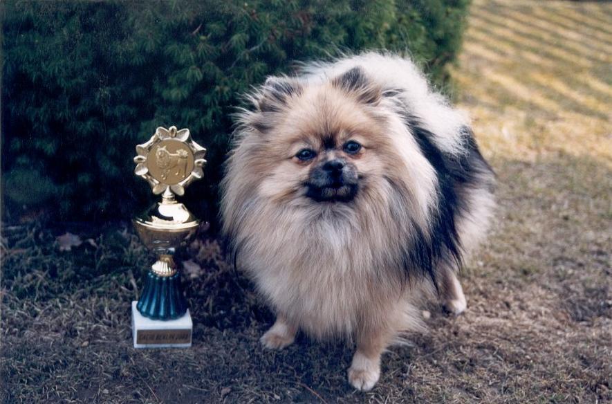 Pomeranian – malý vzrůstem, ale statečný srdcem!