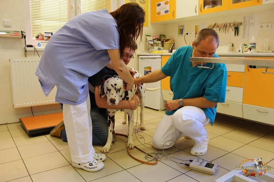 Proč dalmatiny trápí hluchota?